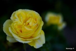 Rose jaune #1