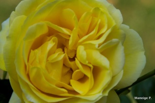 Rose jaune #2