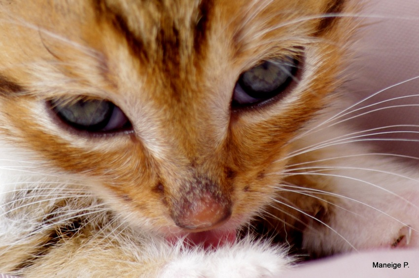 Caramel kitten