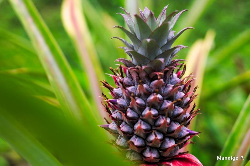 Pied d'ananas