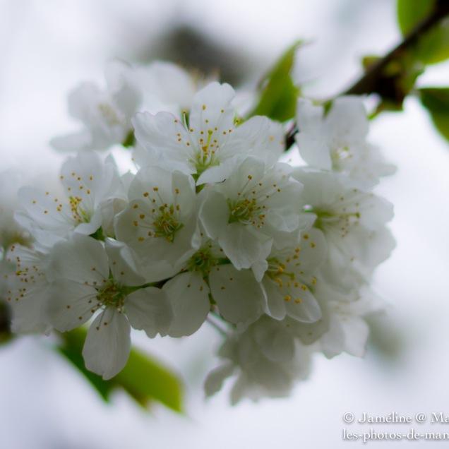 Cherry tree blossom #1