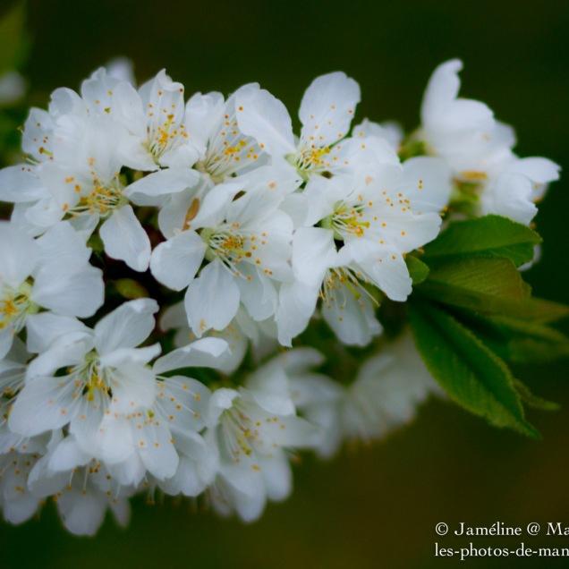 Cherry tree blossom #2