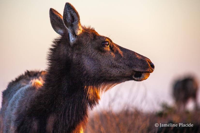 Tule Elk, Point Reyes Preserve