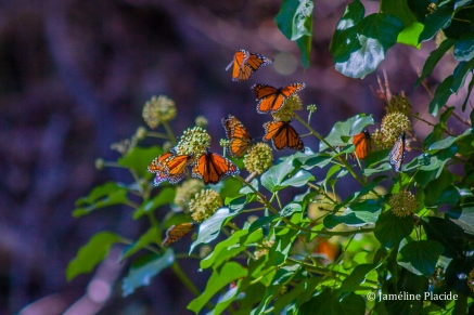 Monarch butterflies, Santa Cruz