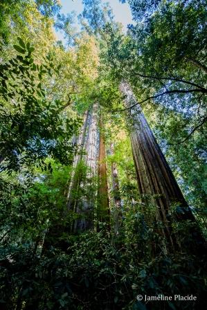 Redwoods, Big Bassin Park